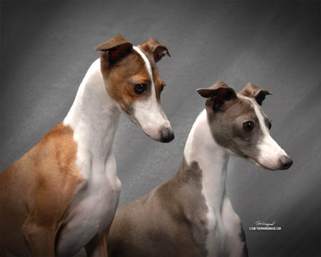 Pictures Of Italian Greyhounds Welcome to my homepage